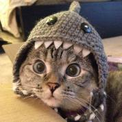 Cat in the Shark Hat from Pinterest