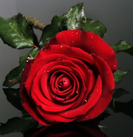 Red Rose from pinterest, 98d4cfcd9a69ffdf767de1d729cf17fd