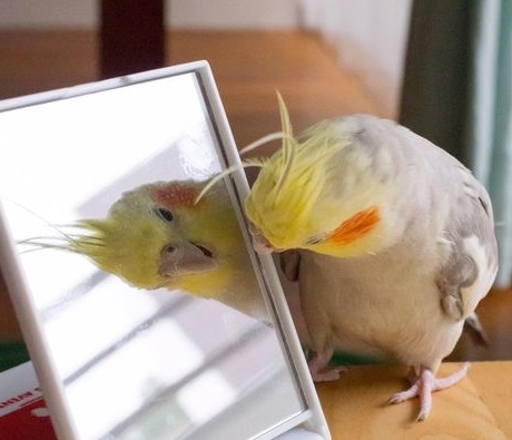 Cockatiel looking in Mirror 1